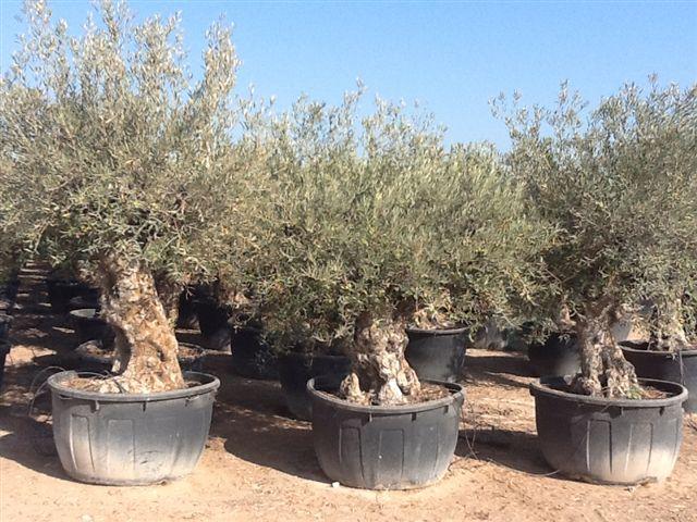 olivenbaum olivenstrauch. Black Bedroom Furniture Sets. Home Design Ideas