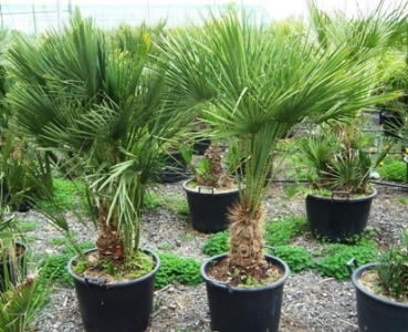 chamaerops humilis f cherpalme vermietung verkauf hannover. Black Bedroom Furniture Sets. Home Design Ideas
