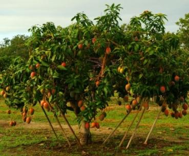 mangiferia indica mango mangobaum exotisches obst vermietung verkauf hannover. Black Bedroom Furniture Sets. Home Design Ideas