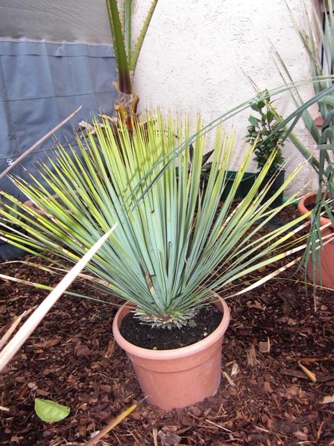 yucca rostrata palmlilie aus mexiko und texas winterhart. Black Bedroom Furniture Sets. Home Design Ideas