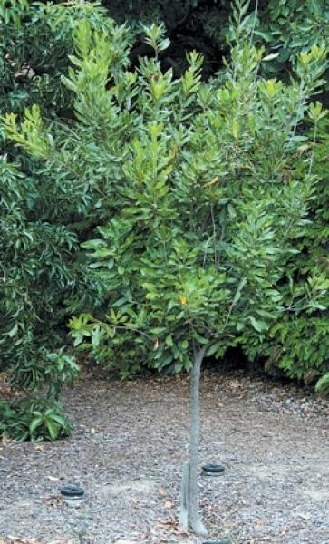macadamia macadamiabaum silberbaumgew chs australischer. Black Bedroom Furniture Sets. Home Design Ideas