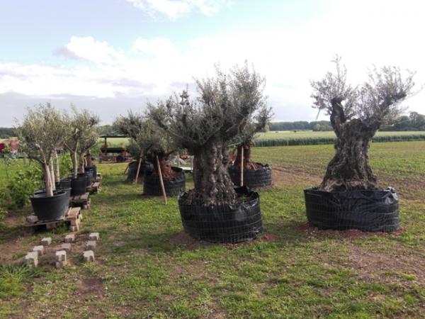 sonderangebot olivenbaum olivenb ume olea europaea. Black Bedroom Furniture Sets. Home Design Ideas