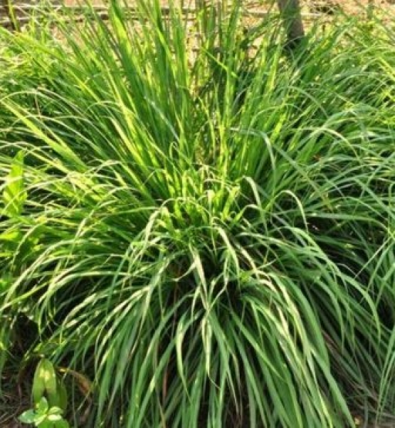 cymbopogon citratus zitronengras heilpflanze. Black Bedroom Furniture Sets. Home Design Ideas